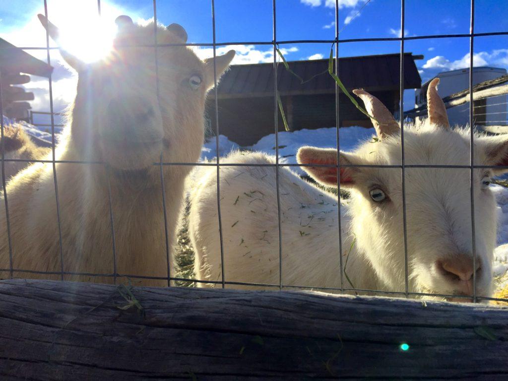 idaho goats